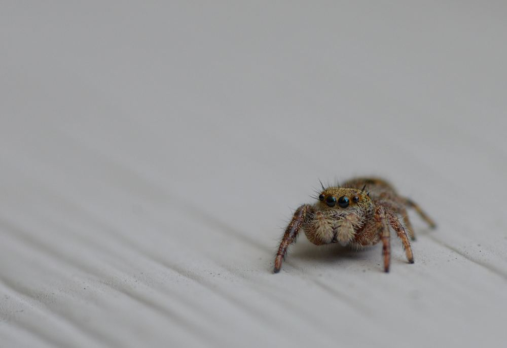 Jumping house spider ready to leap
