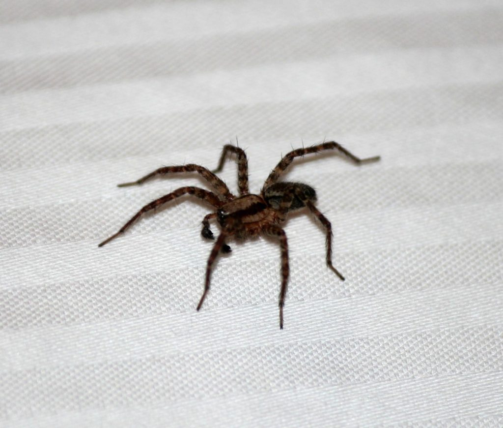 American house spider on a white tablecloth
