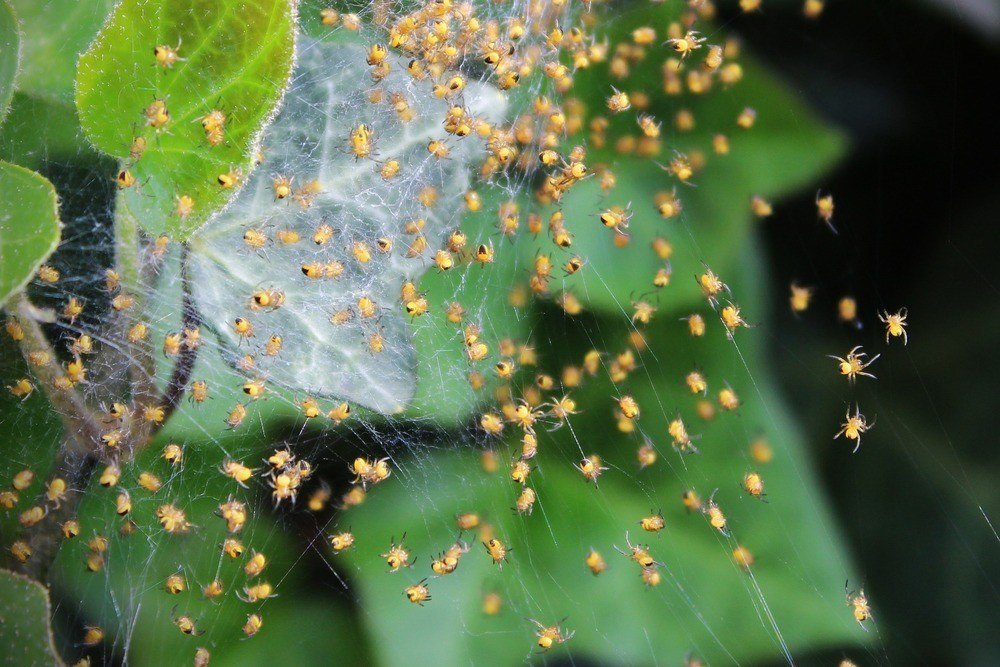 Nest of house spiders on a leaf