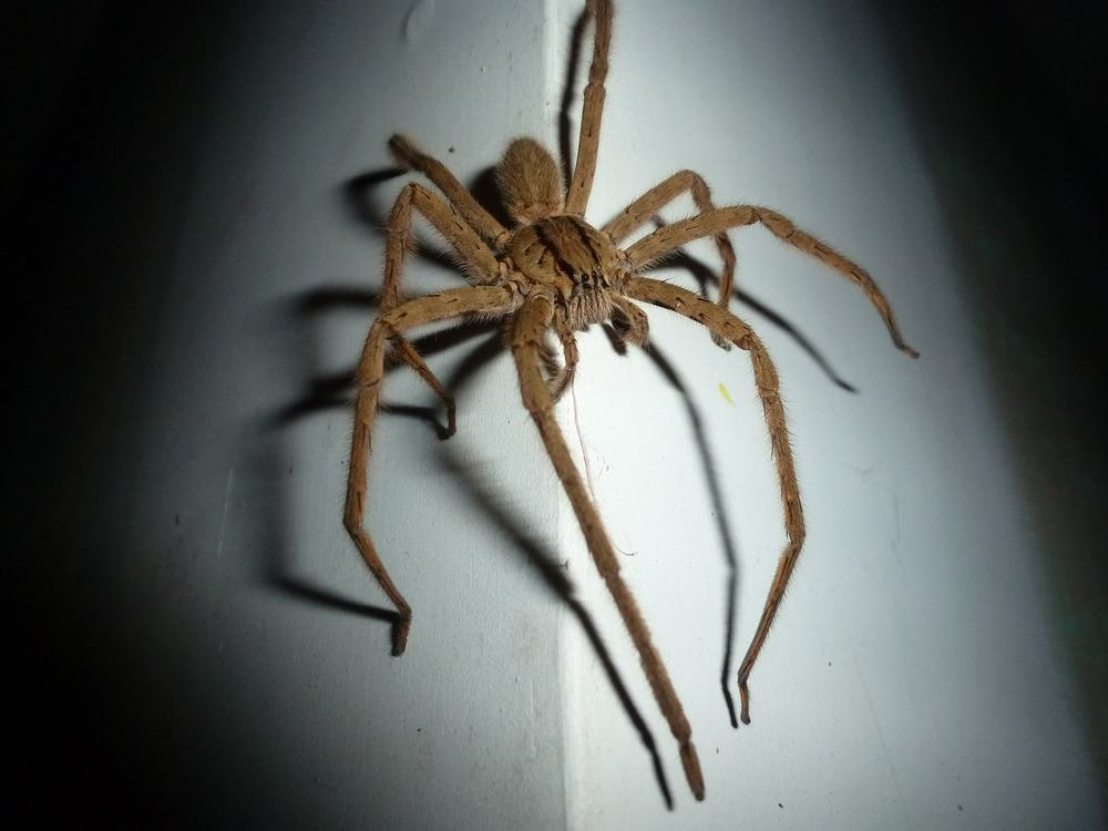Wolf house spider on a wall