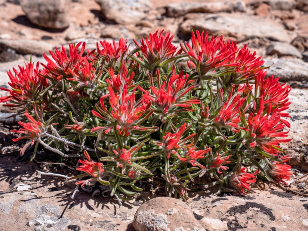 Xeriscape flowering plant growing well in dry outdoor spaces