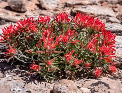 Red flower Castilleja chromosa found throughout the Canyonlands National Park desert