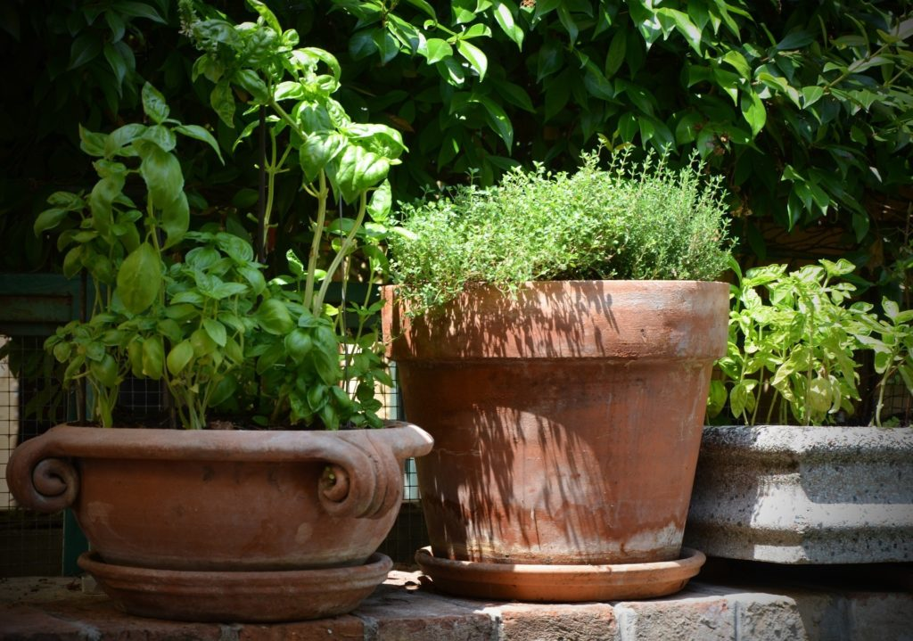 Basil and Thyme plants