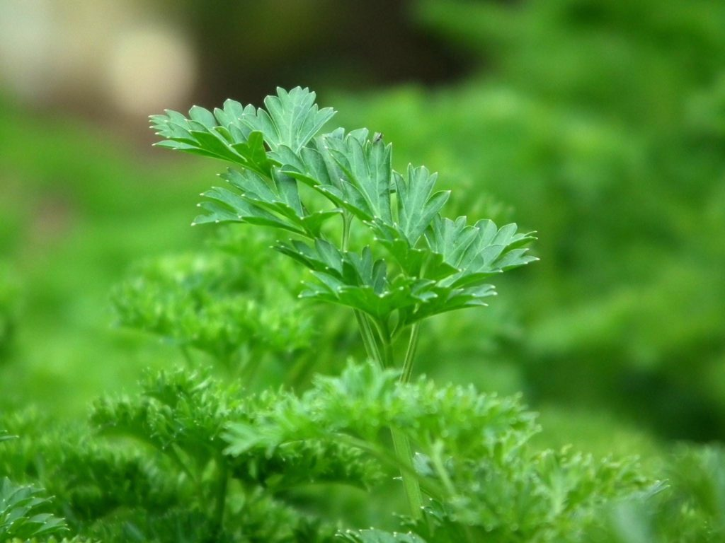 Parsley in xeriscape garden