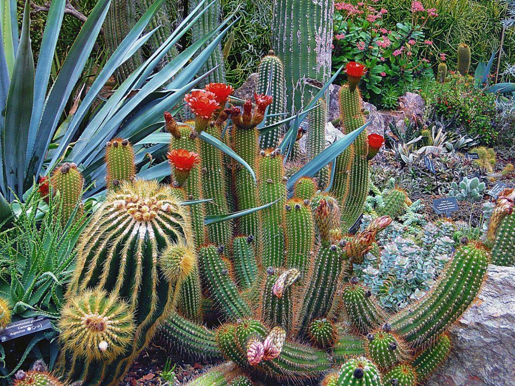 Cactus in a landscape