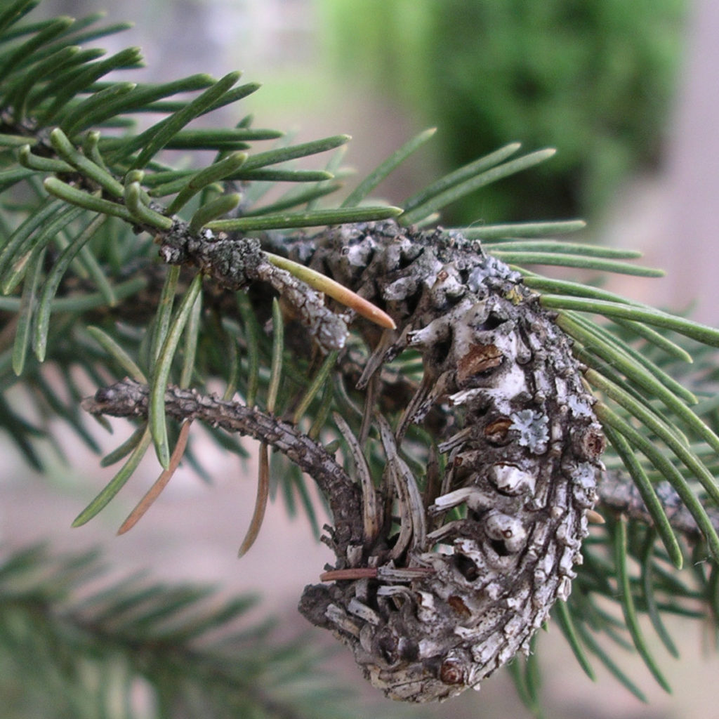 Adelgid insects in Christmas tree