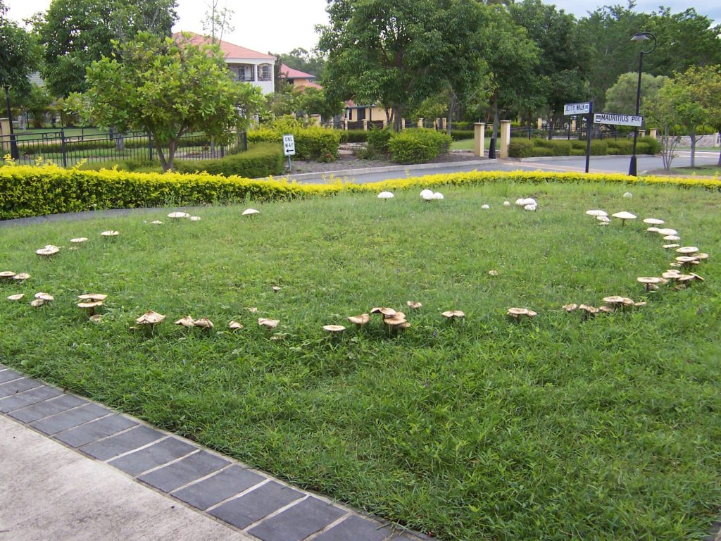 Fairy Ring Mushrooms in Lawn