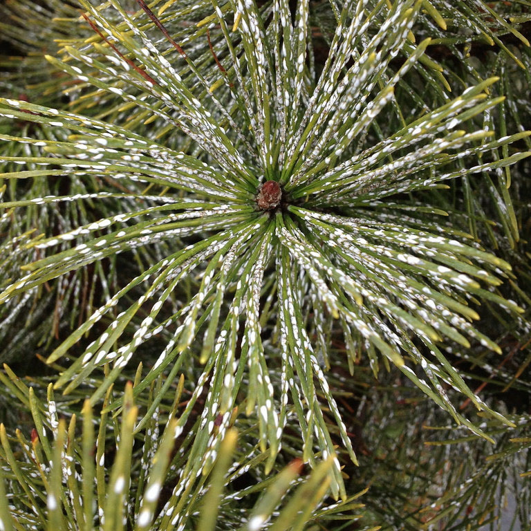 pine needle with scale insects