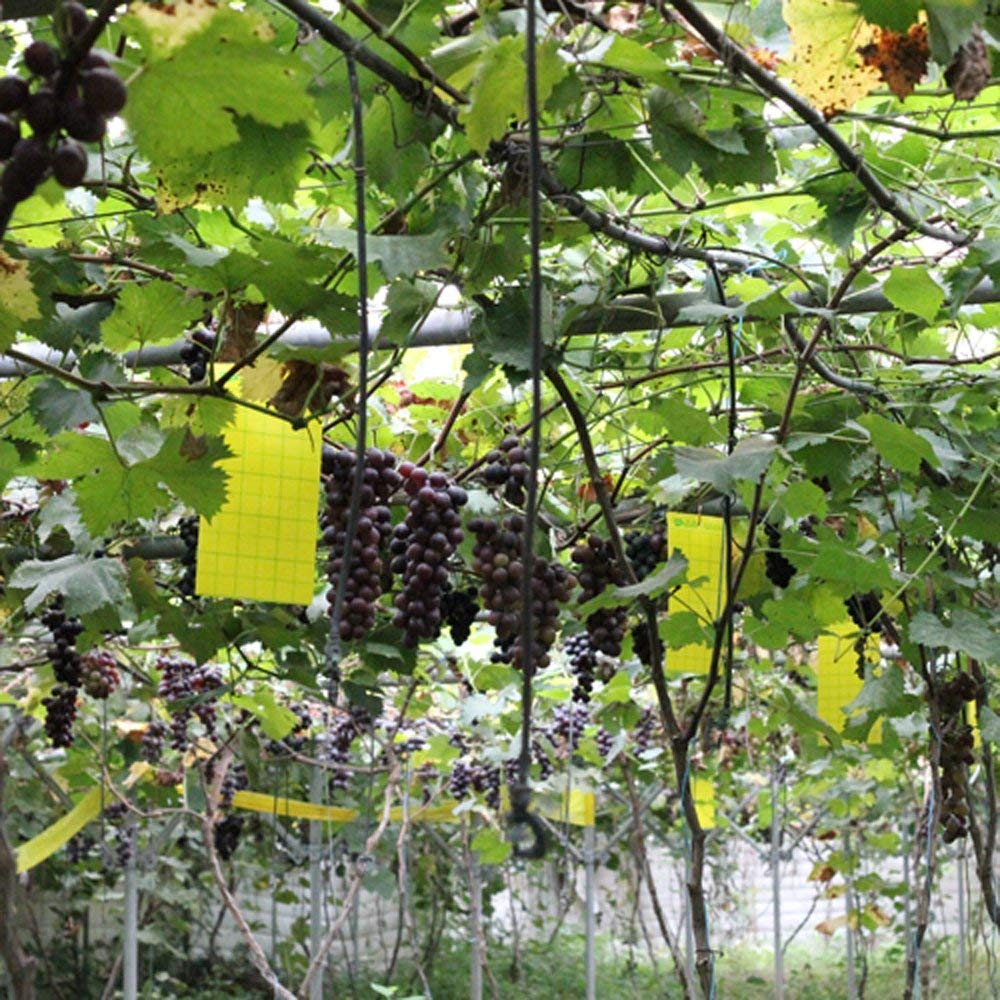 Fly traps hung in a grape vine