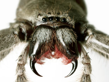Close up huntsman spider