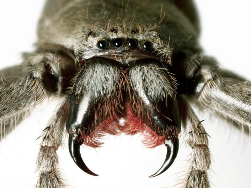 Close up huntsman spider