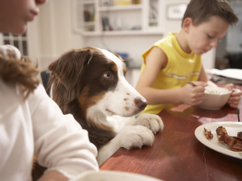 Dog at kitchen table with family