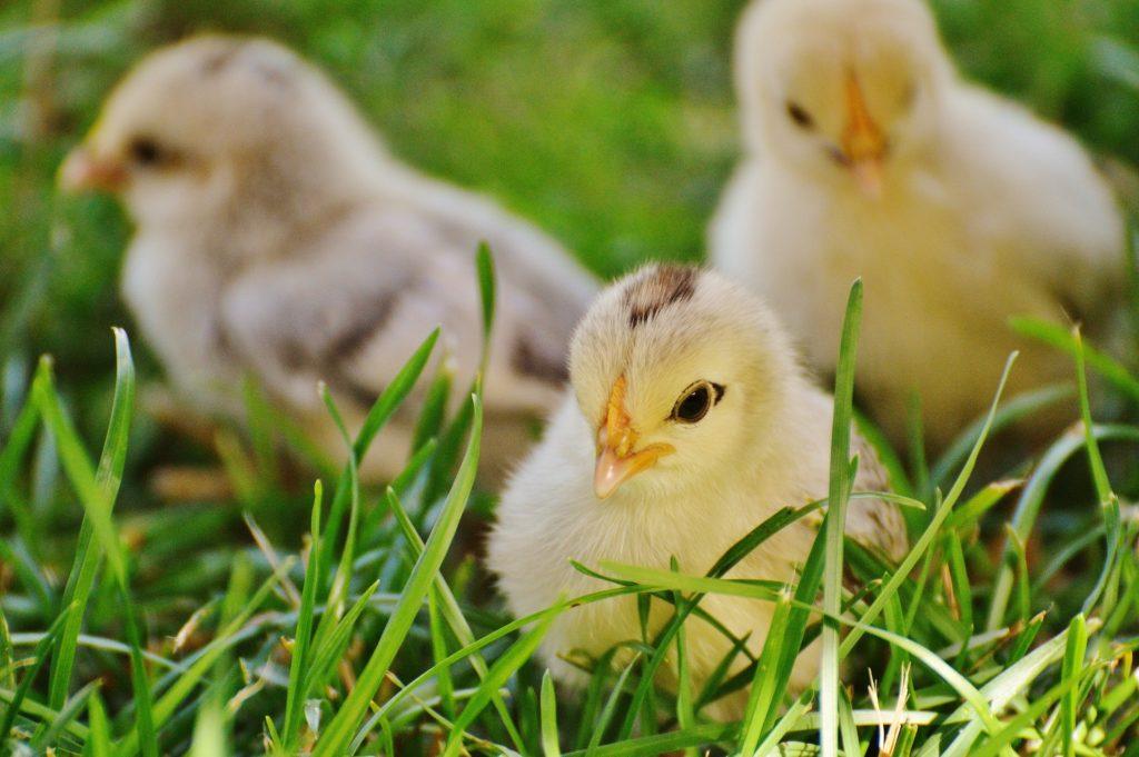 Baby chicks on grass