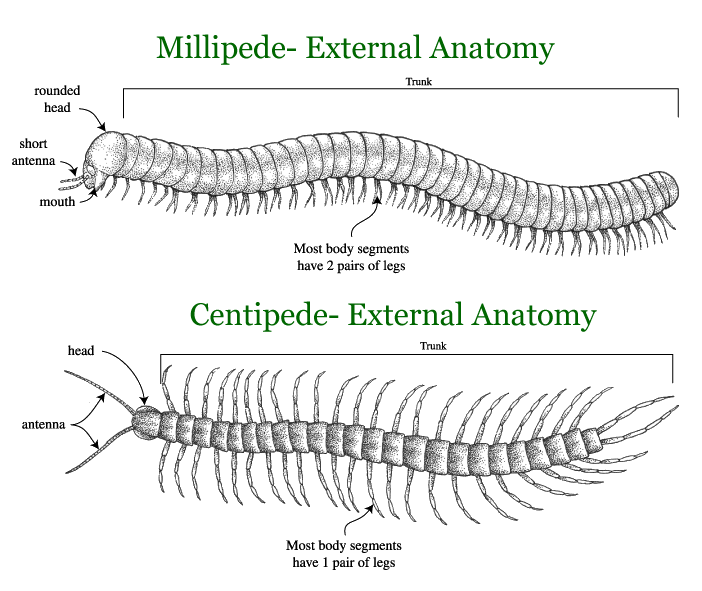 Illustration that compares a millipede and centipede