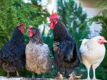 4 chickens