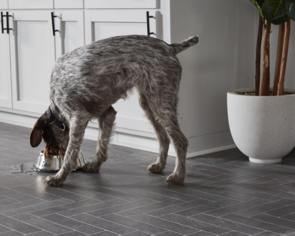 Dog drinking water on LL Flooring Burgess Gray AquaSeal Laminate Floor