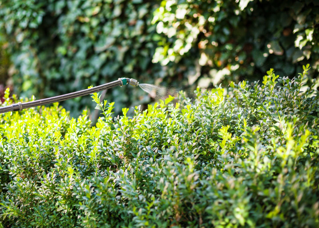 Boxwood being treated for pest control